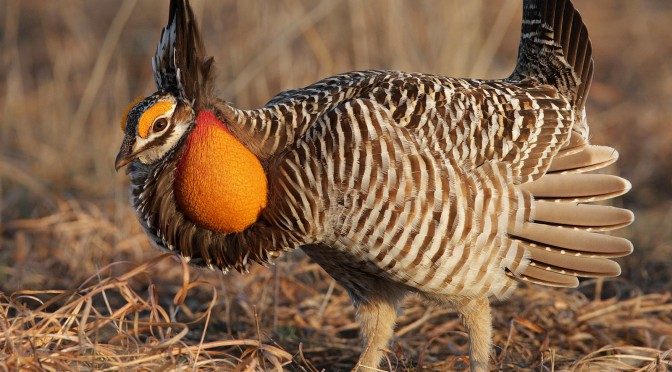 Wind power does not strongly affect greater prairie chickens, seven-year study finds